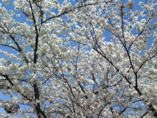 2009桜1.jpg