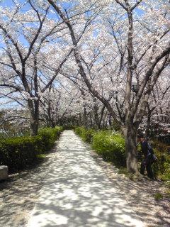 2009桜4.jpg