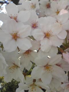2009桜7.jpg