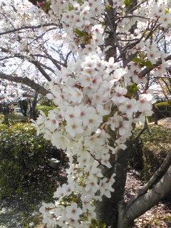 2009桜8.jpg