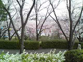 さくら公園11.jpg