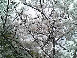 さくら公園71.jpg