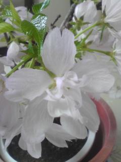 旭山桜2.jpg