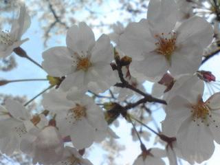 桜1012.jpg
