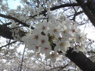 桜1014.jpg