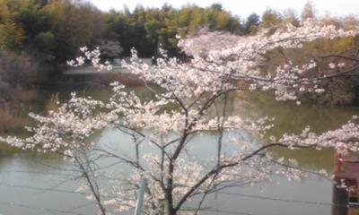 桜1018.jpg