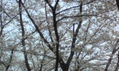 桜104.jpg