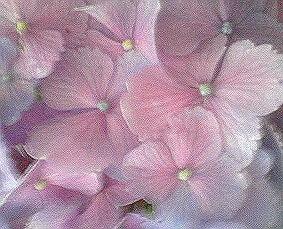 紫陽花UP.jpg