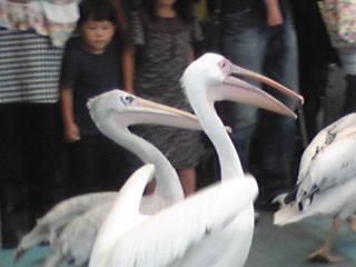 鳥羽水族館ペリカン.jpg