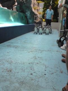 鳥羽水族館ペンギン散歩1.jpg