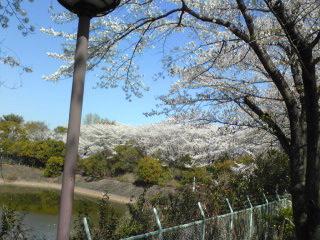 2009桜3.jpg