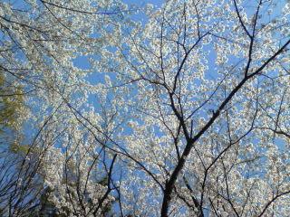 2009桜5.jpg