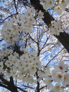 2009桜6.jpg