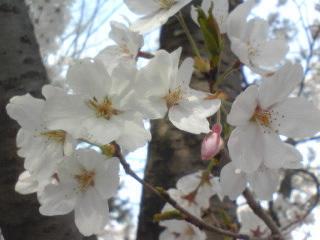 桜1011.jpg