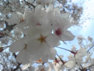 桜1013.jpg
