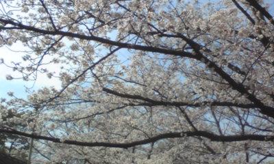 桜1017.jpg
