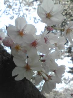 桜1020.jpg
