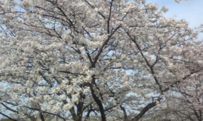 桜103.jpg