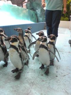 鳥羽水族館ペンギン散歩2.jpg